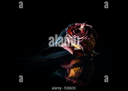 Nahaufnahme von einer getrockneten roten rose vor schwarzem Hintergrund in der spot-Licht mit feinen Rauch - Stockfoto