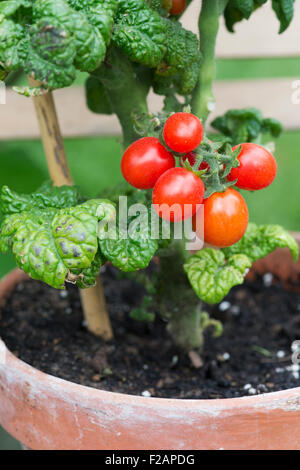 """Lycopersicon esculentum. Zwerg Tomate """"patio Pflaume 'F1 auf der Rebe in einem Blumentopf - Stockfoto"""