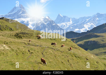 Kühe auf einer Almwiese. Jungfrauregion, Schweiz - Stockfoto
