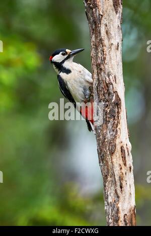 Schöne Specht-Männchen auf einen Toten Stamm im Wald - Stockfoto