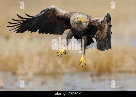 Seeadler / Sea Eagle / Seeadler (Haliaeetus Horste) breitet seine Flügel über nasse Land umgeben von goldenen Schilf. - Stockfoto