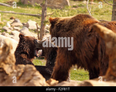 Ein paar der Jährling Grizzly Bären kämpfen als ihre Mutter zusieht. - Stockfoto