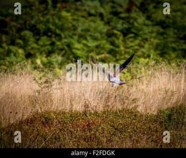 Turmfalken (Falco tinnunculus) Abheben und Fliegen mit seiner Beute auf der Heide - Stockfoto