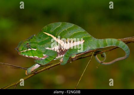 Chamäleon (Furcifer Balteatus), junger Mann, Ranomafana Regenwald, Southern Highlands, Madagaskar - Stockfoto