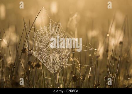 Hinterleuchtete Tautropfen bedeckt Spinnennetz unter den Gräsern auf Leine Fen im Peak District. Derbyshire, Engladn, - Stockfoto