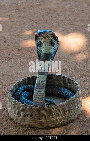 Kobra Schlange im Galle Fort, Sri Lanka - Stockfoto