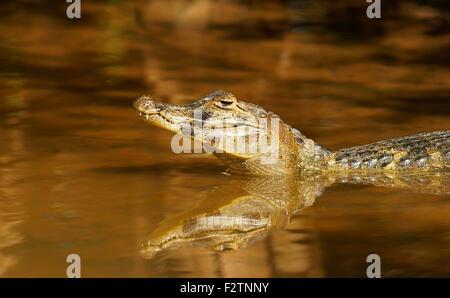 Yacare Kaiman (Caiman Yacare, Caiman Crocodilus Yacare), im Wasser, Pantanal, Brasilien - Stockfoto