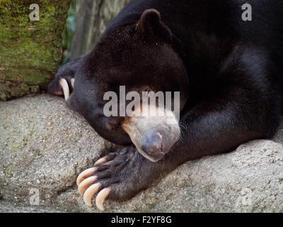 Fong, ein männlicher malayischen Sonne Bär, schläfrig im Lincoln Park Zoo in Chicago, Illinois. - Stockfoto