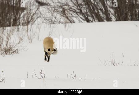 Amerikanische Rotfuchs (Vulpes Vulpes Fulva) Erwachsenen, Jagd, springen auf Beute im Schnee, Yellowstone Nationalpark, - Stockfoto