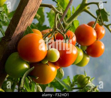 Tomaten wachsen in einem Folientunnel - Stockfoto