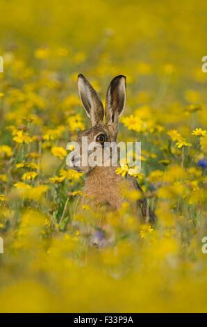 Brauner Hase Lepus Europaeus Warnung im Blume Wiese Norfolk Sommer - Stockfoto