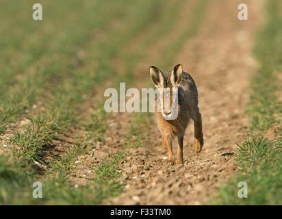 Braun Feldhase Lepus Europaeus in Winterweizen Field Norfolk UK März - Stockfoto