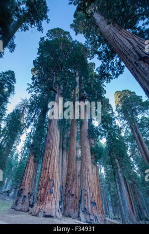 der Senat Gruppe von gigantischen Sequoia Bäumen auf dem Congress Trail im Sequoia Nationalpark, Kalifornien, USA