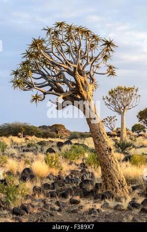 Köcherbäume in den Köcherbaumwald außerhalb Keetmanshoop, Namibia - Stockfoto