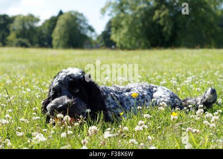 Cute Black & White Cockapoo im Park mit Grasbewachsenen Hintergrund - Stockfoto