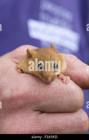Gemeinsame () Haselmaus (Muscardinus Avellanarius), in der Forscher Hand, Nottinghamshire, UK - Stockfoto