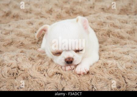 Weiße Welpen Chihuahua schläft auf Beige Matte - Stockfoto