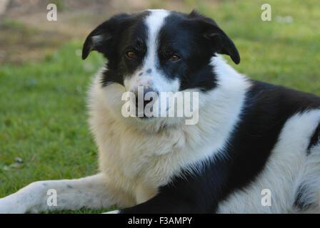 Border-Collie, Hund Blick in die Kamera - Stockfoto