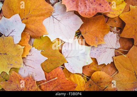 Herbstlaub Hintergrund. Tulpenbaum - Stockfoto