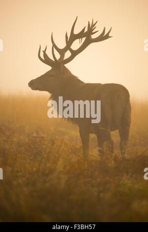 Große rote Rotwild-Hirsch im dichten Morgennebel. - Stockfoto