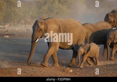Afrikanischer Elefant (Loxodonta Africana), Zucht, Herde zornbebend zu Wasserloch, am Abend Licht, Etosha Nationalpark, - Stockfoto