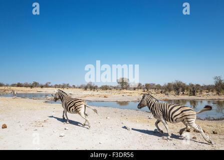 Burchell Zebras (Equus Quagga Burchellii) zornbebend zu Wasserloch, Etosha Nationalpark, Namibia - Stockfoto