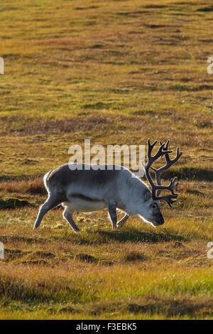 Svalbard-Rentiere (Rangifer Tarandus Platyrhynchus) männlich mit Geweih bedeckt in samt in der Tundra im Sommer - Stockfoto