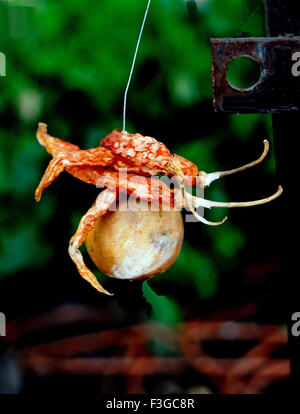 Aberglaube-Konzept; Gewinde der trockene rote Chilis und Zitrone hängen - Stockfoto