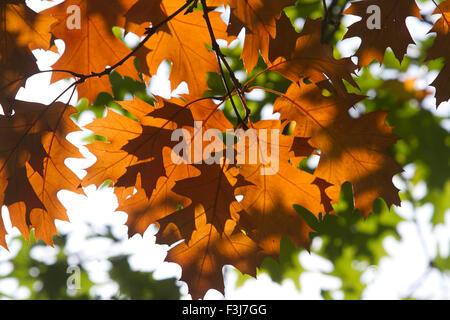 Wimbledon London, UK. 8. Oktober 2015. Anzeige der wechselnden Farben auf den Blättern in Wimbledon mit der Ankunft - Stockfoto