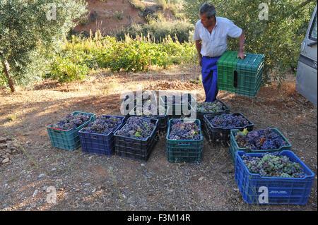 Ein spanischer Bauer sammeln Trauben vom Weinstock dann sammeln die Trauben in Kisten, Wein in der traditionellen - Stockfoto