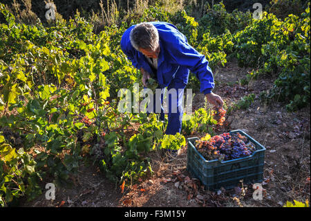 Ein spanischer Bauer schneiden die Trauben vom Weinstock, dann sammeln die Trauben, Wein in der traditionellen Methode - Stockfoto
