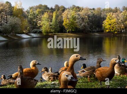 Moskau, Russland. 9. Oktober 2015. Enten im Moskauer Ostankino-Park. Bildnachweis: Artyom Geodakyan/TASS/Alamy Live - Stockfoto
