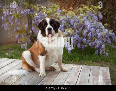Bernhardiner Hund sitzt auf hölzernen Plattform vor lila Glyzinien Ranke Blumen - Stockfoto