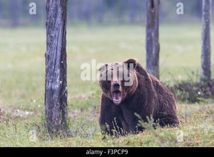 Brauner Bär, Ursus Arctos, auf Moos mit offenem Mund stehen und blickte der Kamera, Kuhmo, Finnland - Stockfoto