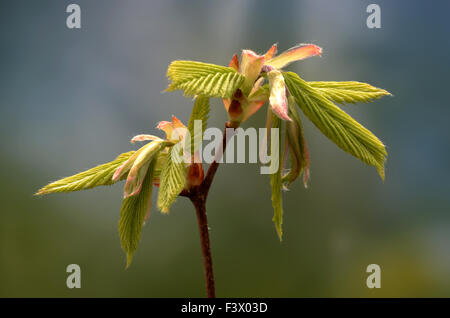 hainbuchenblatt hainbuche carpinus betulus stockfoto bild 105269067 alamy. Black Bedroom Furniture Sets. Home Design Ideas