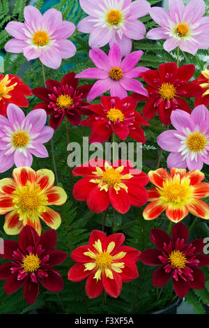 Dahlien Pflanzen Display auf der Malvern Herbst Show, Worcestershire, UK - Stockfoto