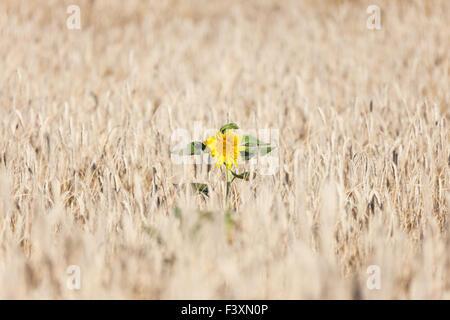 Sonnenblume im Kornfeld