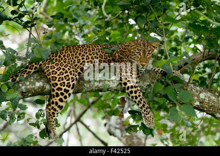 Die indischen Leoparden (Panthera Pardus Fusca) ist eine Leopard-Unterart auf dem indischen Subkontinent verbreitet. - Stockfoto