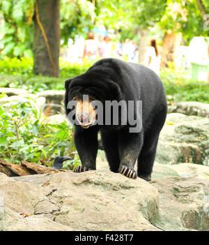 Malaiische Sun Bear. - Stockfoto