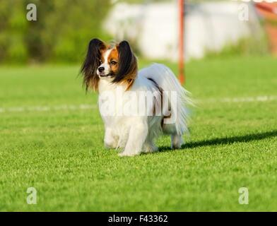 Ein kleiner weißer und roter Papillon Hund (aka kontinentaler Zwergspaniel) zu Fuß auf dem Rasen sehr freundlich - Stockfoto