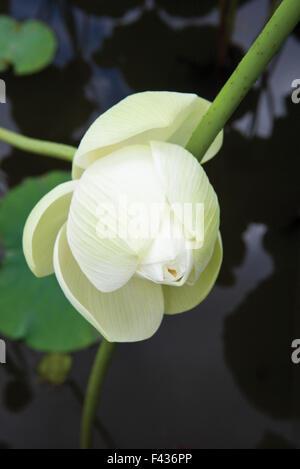 Lotus-Blume - Stockfoto