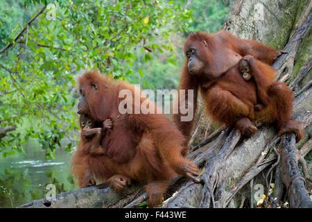 Orang-Utan (Pongo Pygmaeus) Mütter mit Babys im Baum neben Fluss. Nyaru Menteng Orang-Utan Wiedereinführung Projekt, - Stockfoto