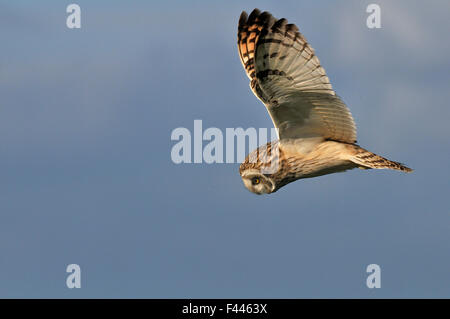 Kurze eared Eule (Asio Flammeus) fliegen über bretonische Sumpf, Westfrankreich, Oktober - Stockfoto