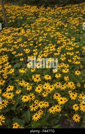 Schlossgarten hinter Palast Noordeinde, hat einen großen Garten der Familie Black-Eyed Susans, Sonnenblumen. Den - Stockfoto