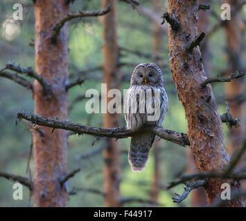 Weibliche Habichtskauz (Strix Uralensis) thront auf Tannenzweig Baum. Südestland, Mai. - Stockfoto