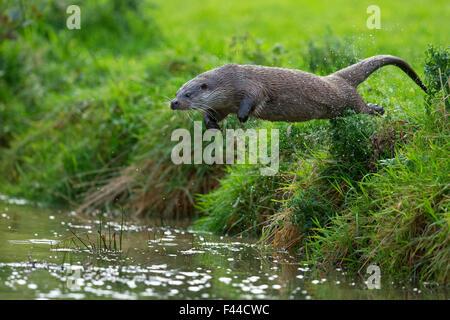 Europäische Otter (Lutra Lutra) von der Bank ins Wasser springen. Kontrollierten Bedingungen. UK, Oktober. - Stockfoto
