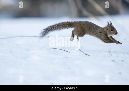 Japanisches Eichhörnchen (Sciurus Lis) laufen, nachdem eine Frau in Brunst im Schnee, Mount Yatsugatake, Präfektur - Stockfoto