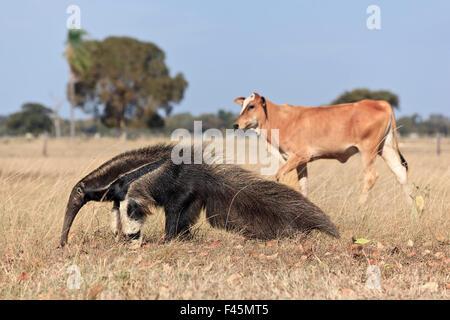 Großer Ameisenbär (Myrmecophaga Tridactyla) zu Fuß vor Hausrind, Pantanal, Brasilien - Stockfoto