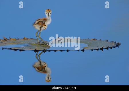 Afrikanische Blatthühnchen (Actophilornis Africana) Küken, eines Tages, auf Blatt, Chobe River, Botswana, April - Stockfoto
