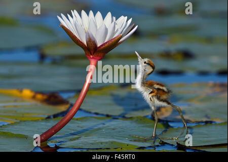 Juvenile afrikanischen Blatthühnchen (Actophilornis Africana) Blick auf Insekt auf Blume, Chobe River, Botswana, - Stockfoto